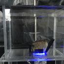 Giant clam in aquarium placed on pH Sensor Foil