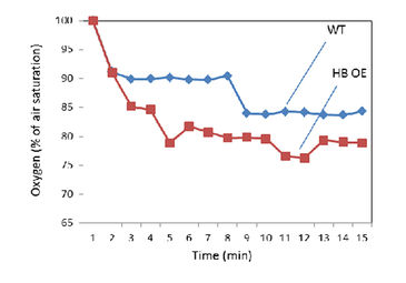 Respiratory oxygen uptake rate of wild-type and hemoglobin over-expressing roots