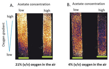 O2 concentrations measured in vials above algal cell layer