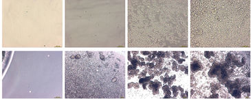Microscope photos of CHO-S cells after 3 and 12 days cultivation