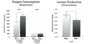 O2 consumption and lactate production of M3+ and M3- cells with and without Antimycin A addition