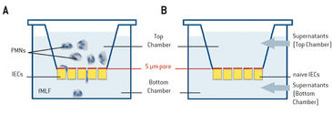 Schematic illustration of experimental set-up to monitor cell-cell cross talk