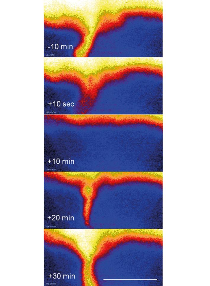 O2 distribution across walls of polychaete burrow