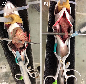 pCO2 microsensor implanted in midgut of fed and fasted rainbow trout