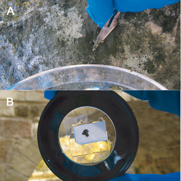 Collecting lichen by scraping and sample prepared for imaging