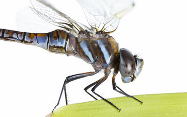 Blue Eyed Darner (Aeshna multicolor)