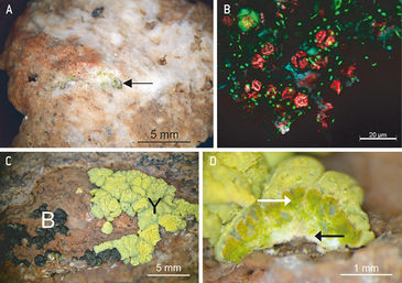 Stereoscopic microscopy view of endolithic microbial communities