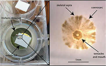 Experimental set-up for 2D oxygen monitoring in coral spat