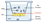 Schematic illustration: PMNs were physically separated from IECs by a filter that permitted soluble interactions